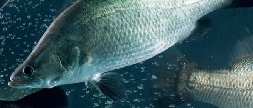 barra underwater