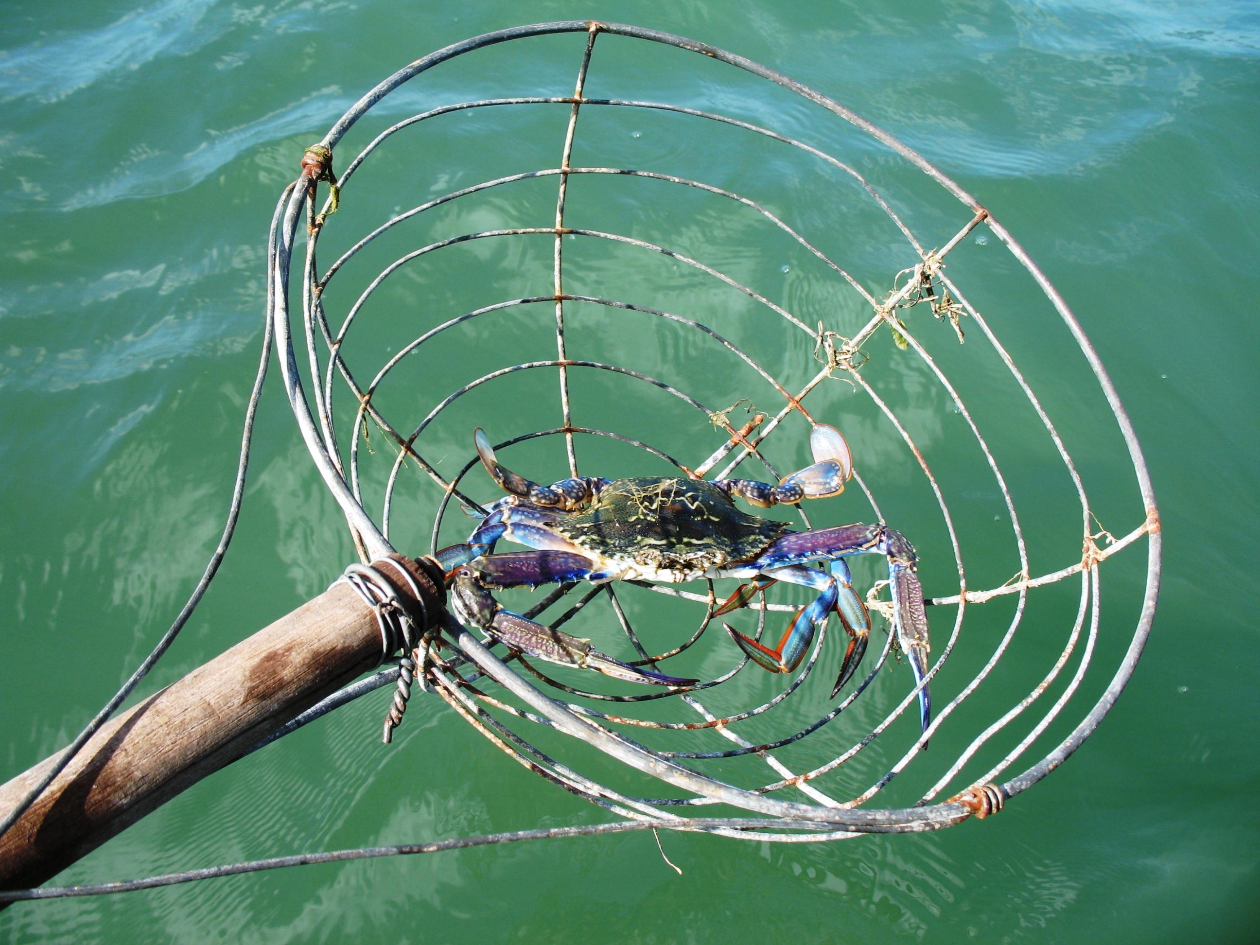 Scooping crabs